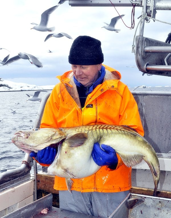 Giant Cod Fish From Norway